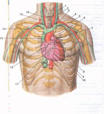 Проекция границ сердца, его