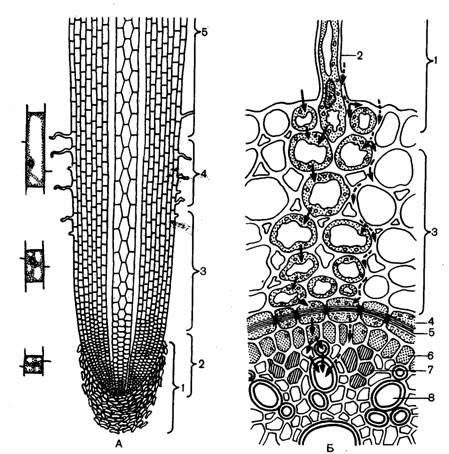 Схема строения корня: