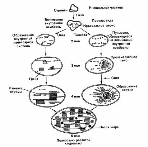 Онтогенез хлоропластов